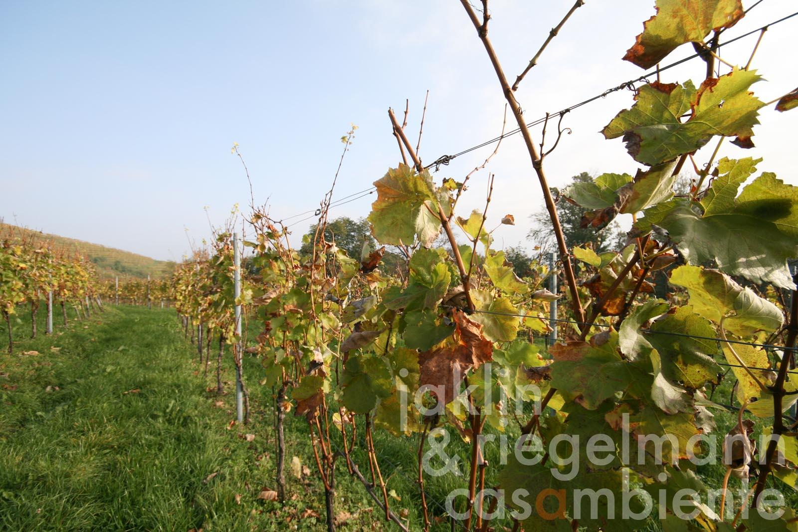 Newly planted vineyards for sale in Jeruzalem on the Slovenian wine route