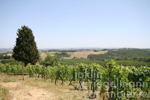 The vineyards of the property with panoramic views across the Tuscan landscape