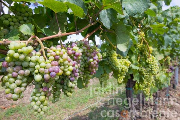 Organic vineyard project for sale with small units in Valpolicella DOC and Lugana DOC on Lake Garda