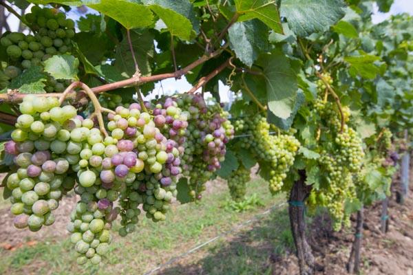 Bio Weinberg-Projekt mit kleinen Einheiten und eigenem Wein im Valpolicella DOC und Lugana DOC am Gardasee