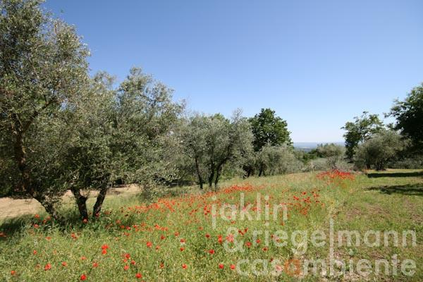 The olive grove of the property for sale