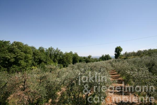 The olive grove below the property