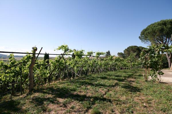 The cordon vineyard